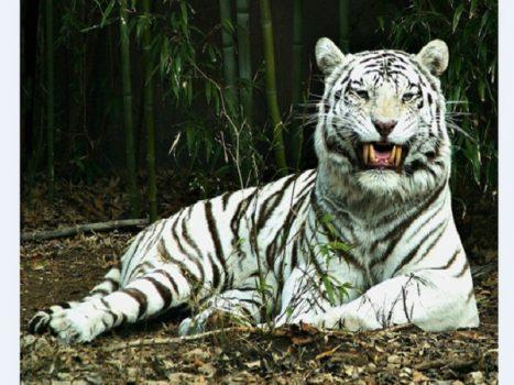 Mơ thấy hổ là điềm lành hay giữ? Nên đánh con gì?