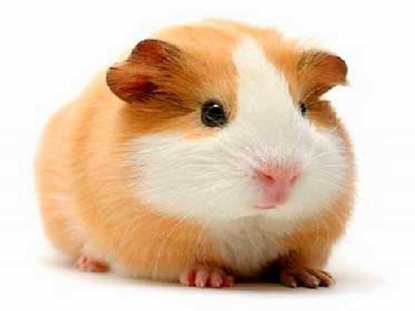 Việc nằm mơ thấy chuột có ý nghĩa gì? Nên đánh số nào?