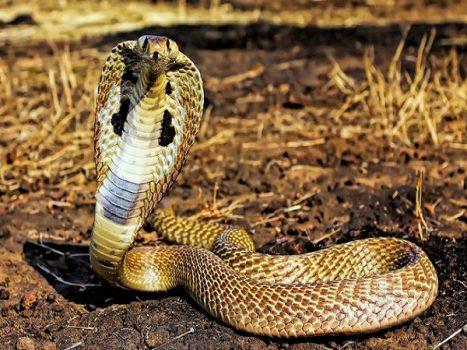 Nằm mơ thấy rắn hổ mang có đáng sợ không?