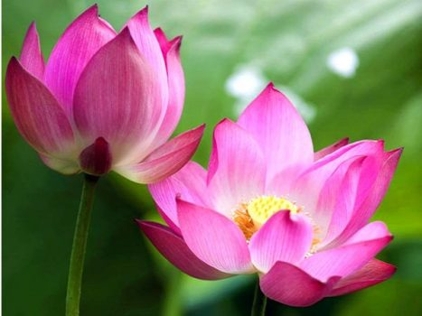 Nằm mơ thấy hoa sen có ý nghĩa gì? Đánh số nào?